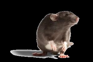rat.jpg.size_.xxlarge.letterbox-300x201
