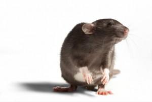 rat.jpg.size.xxlarge.letterbox